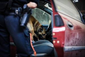 malinois searching after drugs