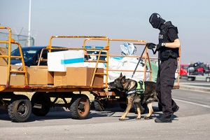 specialized dog in a training at the airport for searching and seizing of illegal drugs