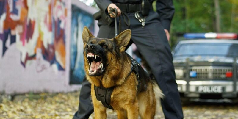 police caucasian shepherd dog barking while policeman holding him on leash