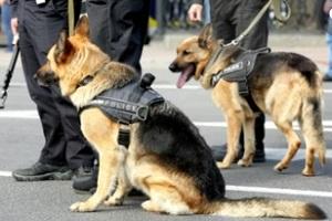 two german shephard dogs on duty in the street